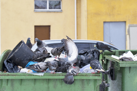 Pigeons in trash container looking for food