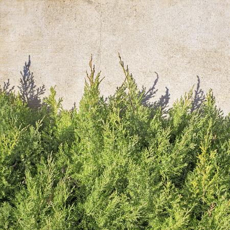 Green thuja tree near the stucco wall. Covering half wall Banco de Imagens