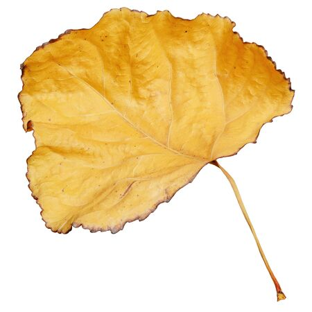 Yellow dry leaf isolated on white background