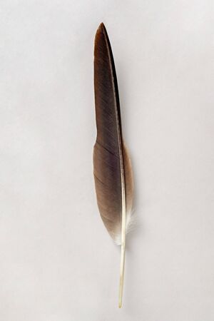 Brown feather isolated on a white background Standard-Bild