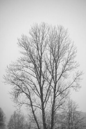 Big lonely tree in heavy snowfall. Winter time Standard-Bild - 132486915