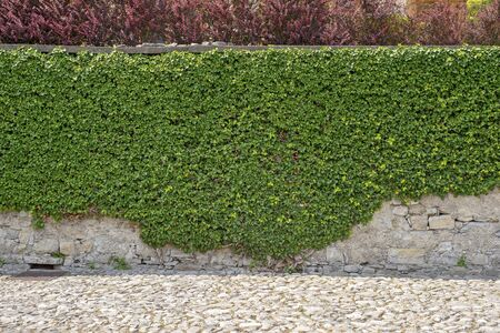 Green creeper on the brick cracked dirty wall