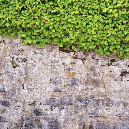 Green creeper on the brick cracked dirty wall Standard-Bild - 137638909