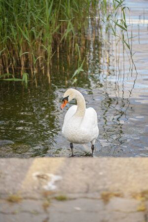 Mute swan in the laggon in summer. Standard-Bild - 150241460