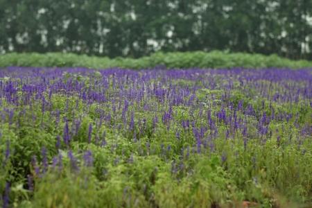 lamiales: Lavender Garden