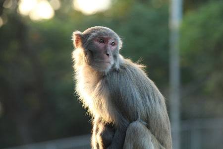 sha: A monkey at Kowloon Reservoir, Kowloon, Hong Kong