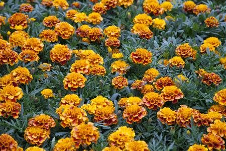 vulgare: Leucanthemum Vulgare