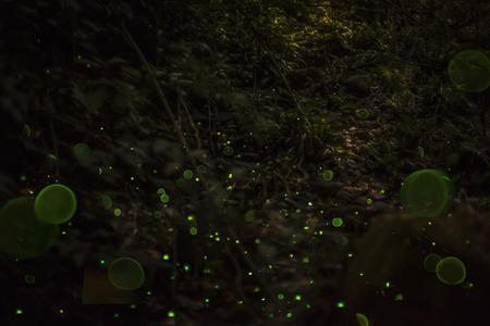glowworm: Dance Of The Fireflies Stock Photo