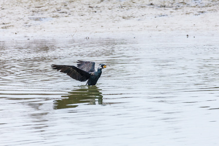 carbo: phalacrocorax carbo