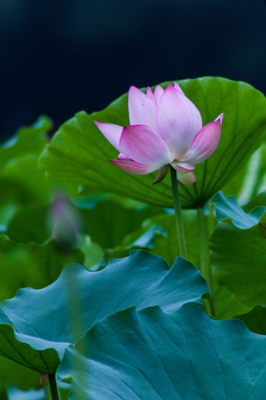 egyptian lily: lotus flower blossom Stock Photo