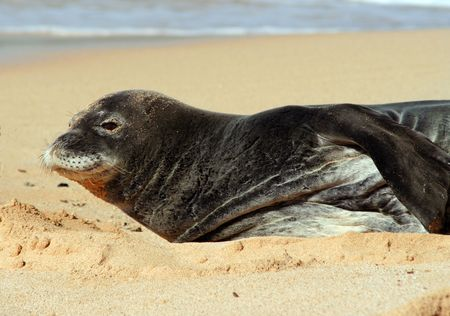 Monk Seal laying on a beach in Hawaii