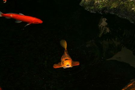 Koi fish swimming in a pond at a resort in Hawaii photo