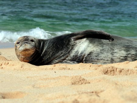 a rare: Rare monk seal laying on a beach in Hawaii Stock Photo