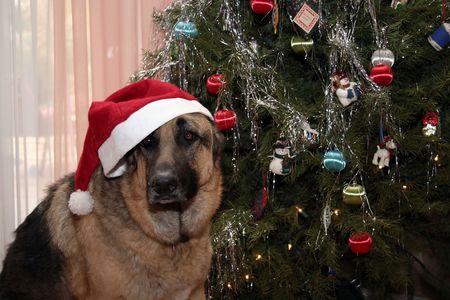 shepard: German Shepard sitting next to Christmas tree