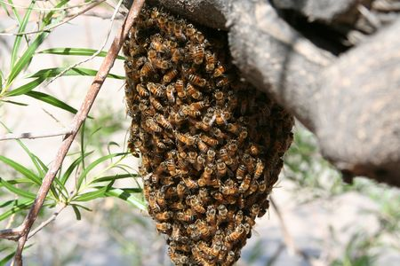 bee swarm: A swarm of bees in a tree
