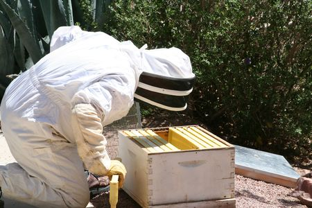 A man capturing a swarm of bees