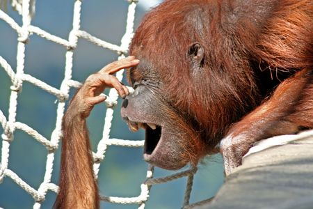 Mother orangutan with baby touching her face photo