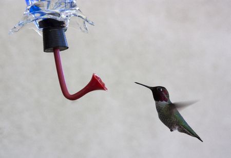 ruby throated: Hummingbird hovering at the feeder
