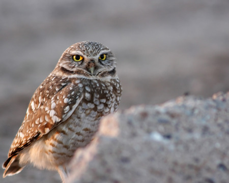 burrowing: Burrowing Owl Standing in the Arizona Desert Stock Photo