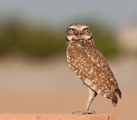 yello: Burrowing Owl standing on a block wall Stock Photo