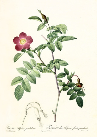 Old illustration of Alpine Rose (Rosa pendulina). Created by P. R. Redoute, published on Les Roses, Imp. Firmin Didot, Paris, 1817-24