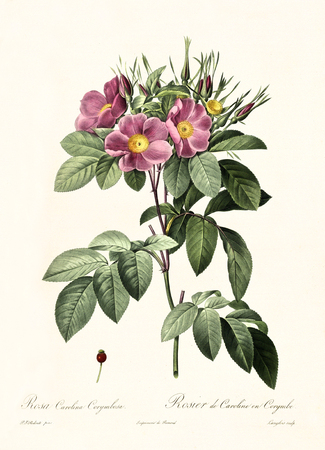 Old illustration of Carolina Rose (Rosa carolina). Created by P. R. Redoute, published on Les Roses, Imp. Firmin Didot, Paris, 1817-24
