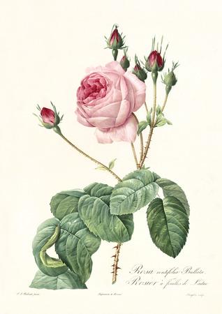 Alte Illustration von Kopfsalat Rose (Rosa centifolia bullata). Erstellt von PR Redoute, veröffentlicht auf Les Roses, Imp. Firmin Didot, Paris, 1817-24 Standard-Bild - 81702738