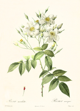 Old illustration of Musk Rose (Rosa moschata). Created by P. R. Redoute, published on Les Roses, Imp. Firmin Didot, Paris, 1817-24
