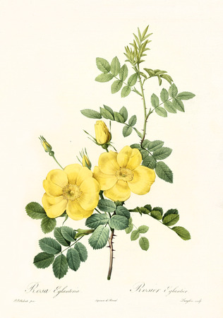 Old illustration of Persian Yellow Rose (Rosa foetida). Created by P. R. Redoute, published on Les Roses, Imp. Firmin Didot, Paris, 1817-24