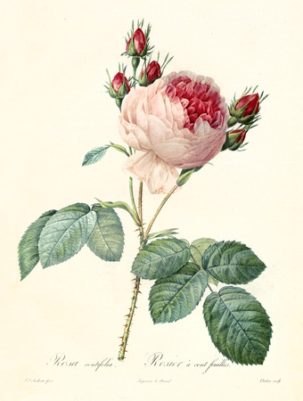 Old illustration of Provence Rose (Rosa centifolia). Created by P. R. Redoute, published on Les Roses, Imp. Firmin Didot, Paris, 1817-24