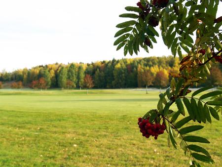 eberesche: Rowan berrys
