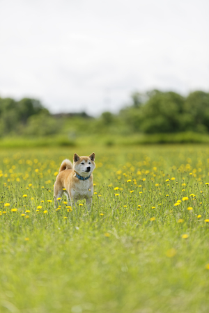 Shiba Inu in the field Stock Photo