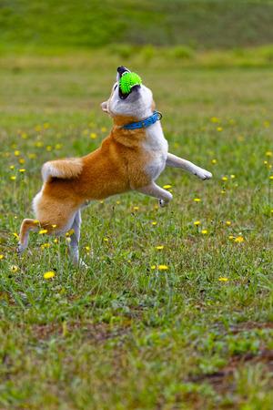 Dog catching the ball Stock Photo