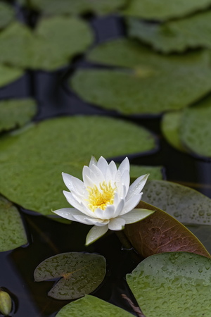 helical: Water lily flower
