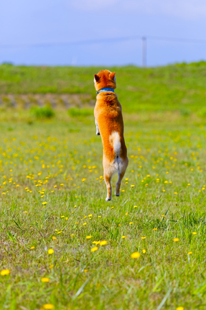 Shiba Inu to jump
