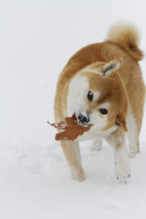 Dog playing in the snow-crested ground Stok Fotoğraf - 89938960