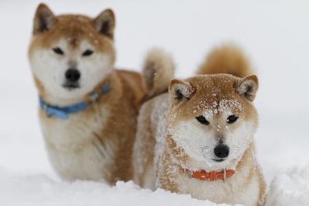 雪の上の柴犬 写真素材