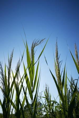 Chinese silver grass Stock Photo