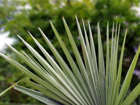 Saw Palmetto Fronds Close Up. Blur background.