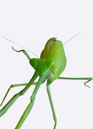 Asian Mantis or Praying Mantis, Front view. Close up. On white background Archivio Fotografico