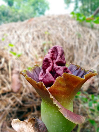 The elephant foot yam flower. Also called whitespot giant arum, is a tropical tuber crop grown primarily in Africa, South Asia, Southeast Asia and the tropical Pacific islands.