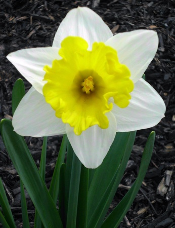White and Yellow Dafadil