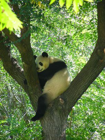 Panda in a tree Stock Photo - 2047066