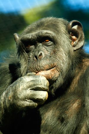 simian: Chimpanzee.Scientific name:Pan troglodytes