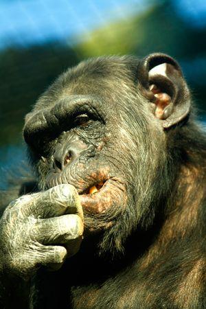 troglodytes: Chimpanzee biting their nails:Pan troglodytes