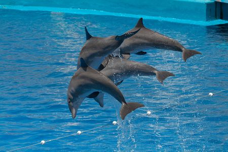 Dolphins (Tursiops truncatus) jumping out of the water Stock Photo