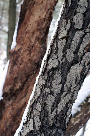Tree trunks  with and without a protective covering of bark Stock Photo - 2665063