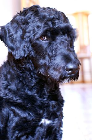 Portuguese Water Dog busted after stealing food off the countertop. Stock Photo