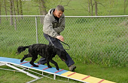 Portuguese Water Dog walking the plank in a beginner agility class. Stock Photo