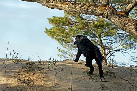 Portuguese Water Dog running up a sand dune to get to water in Wasaga Beach, Ontario photo
